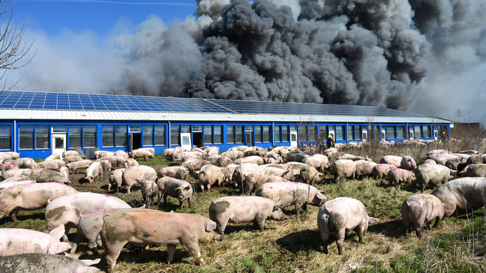 Pigs stand in front of a building after a fire broke out in a large pig farm in Alt Tellin, Germany, on Tuesday, March 30.